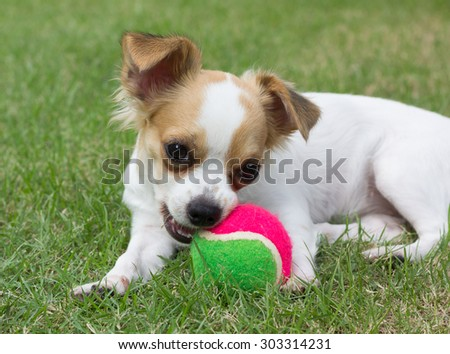 A chihuahua holds a Green and pink Ball on grass