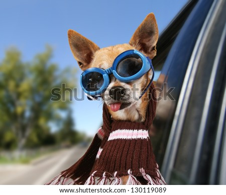 a chihuahua in a car - stock photo