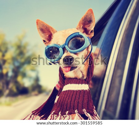 a chihuahua in a car with his head out the window with goggles on toned with a retro vintage instagram filter effect app or action - stock photo