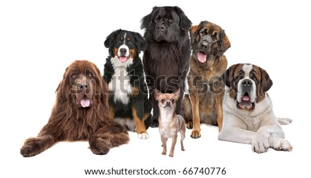 a chihuahua in front of five big dogs, isolated on a white background - stock photo