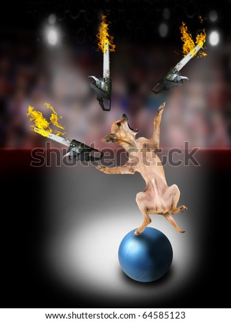 a chihuahua juggling three chainsaws - stock photo