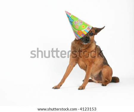 a chihuahua mix with a birthday hat on