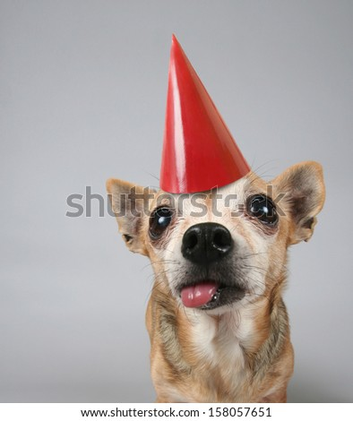 a chihuahua on a gray background with a party hat on - stock photo