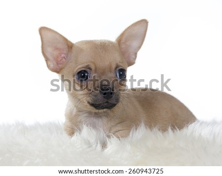 A Chihuahua portrait. Puppy at the age of 10 weeks. Image taken in a studio.
