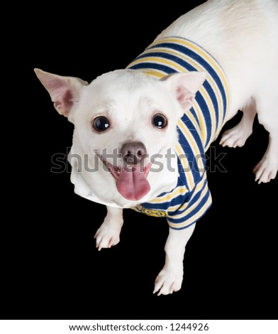 A chihuahua posing for the camera isolated on black. - stock photo