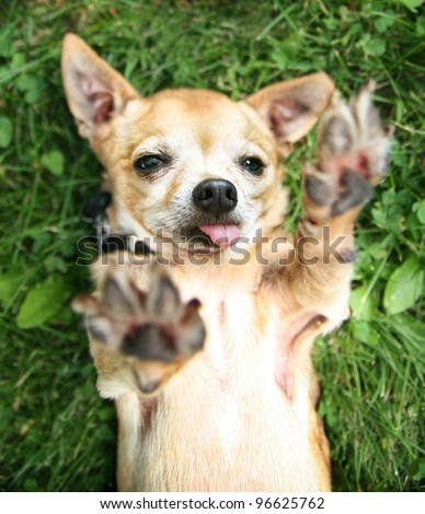 a chihuahua reaching for the sky - stock photo
