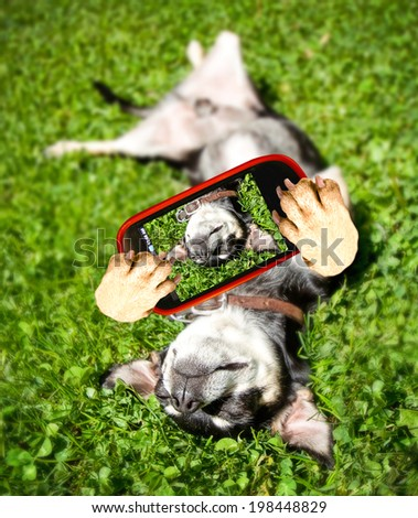a chihuahua rolling in the grass taking a selfie  - stock photo