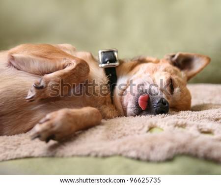 a chihuahua snoring - stock photo