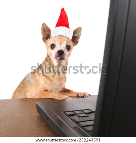 a chihuahua surfing the internet on a laptop on a white background with a santa hat on for christmas - stock photo