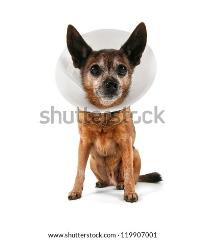 a chihuahua wearing a cone of shame from a vet - stock photo