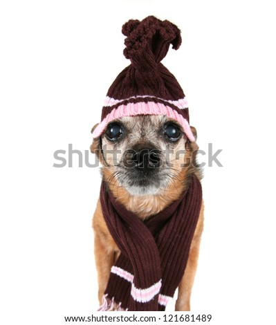 a chihuahua wearing a hat and scarf - stock photo
