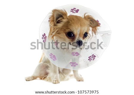 a chihuahua wearing a protective veterinary collar after a surgical operation