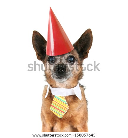 a chihuahua wearing a tie and a party hat on - stock photo