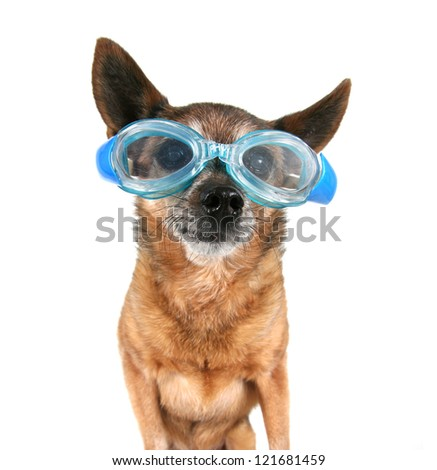 a chihuahua wearing goggles