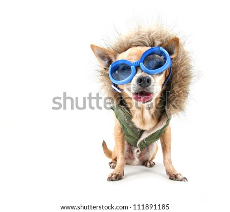 a chihuahua with a furry coat and goggle on - stock photo