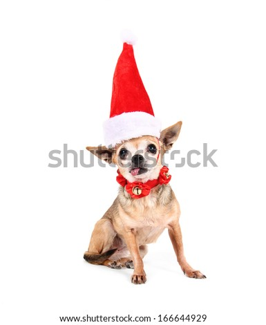 a chihuahua with a red santa hat on - stock photo