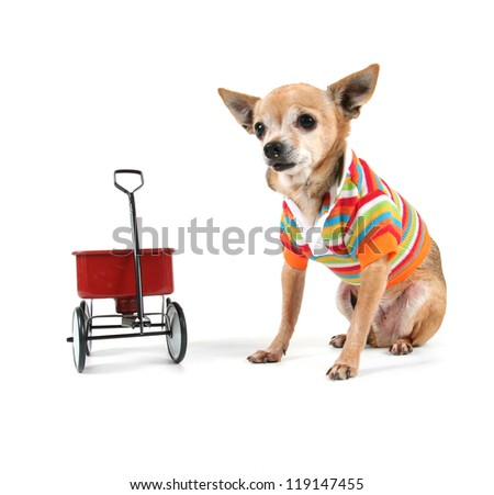 a chihuahua with a tiny wagon - stock photo