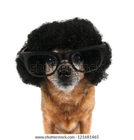 a chihuahua with an afro wig and glasses on - stock photo
