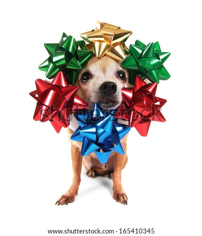 a chihuahua with christmas bows on his head - stock photo