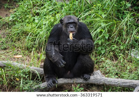 A chimpanzee eating a banana thrown by travellers.