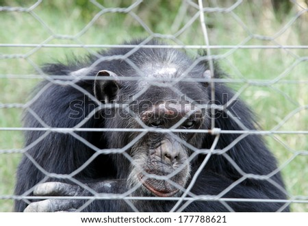 A Chimpanzee viewing through the fence  - stock photo