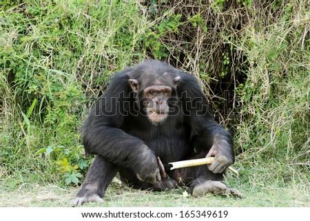 A Chimpanzee with sugarcane at Ol Pejeta Conservancy - stock photo