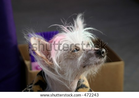 A Chinese crested dog with dyed hair looks deep in thought. This canine has won ugliest dog contests.