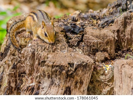 A Chipmunk perched on a log with bird seed. - stock photo