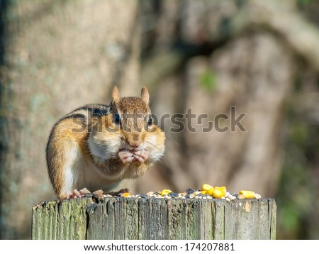 A Chipmunk perched on a post stuffing his cheeks with bird seed and peanuts. - stock photo