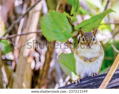 A Chipmunk perched on a tree stump. - stock photo