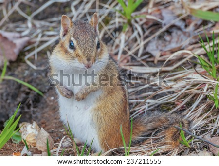 A Chipmunk perched on the ground. - stock photo