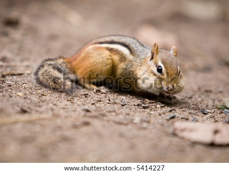 A chipmunk portrait, his cheeks puffed out with food.  Shallow depth of field with focus on animal's eye. - stock photo