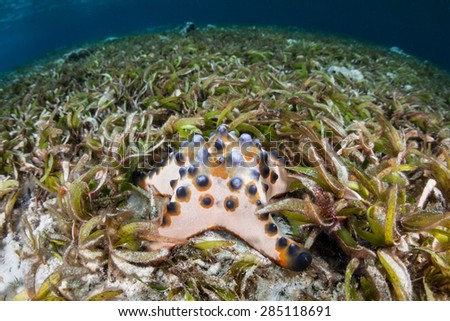 A Chocolate chip starfish (Protoreaster nodosus) is found in a shallow seagrass meadow in Wakatabi National Park, Indonesia.