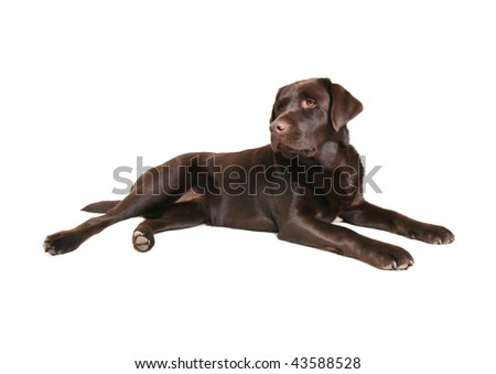 a chocolate lab on a white background - stock photo