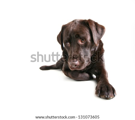 a chocolate lab pouting - stock photo