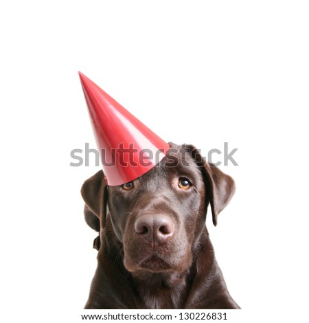 a chocolate lab with a birthday hat on - stock photo