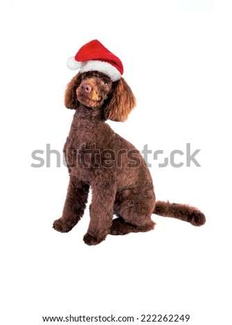 A chocolate miniature Poodle wearing a Christmas hat isolated on a white background. - stock photo