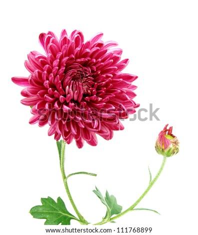 A chrysanthemum daisy - stock photo