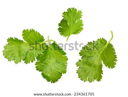 A cilantro leaf isolated white - stock photo
