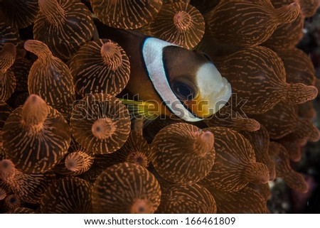 A Clark's anemonefish (Amphiprion clarkii) snuggles into the tentacles of its host anemone (Entacmaea quadricolor) in Komodo, Indonesia. This anemonefish is widespread throughout the Indo-Pacific. - stock photo
