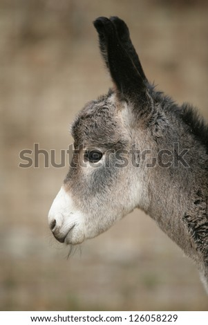 a close encounter with an ass donkey - stock photo