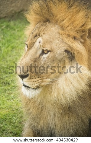 a close look of face of a male lion, a portrait of lion - stock photo