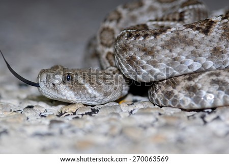 A close shot of a high contrast, medium sized western diamond back rattlesnake from West Texas. - stock photo