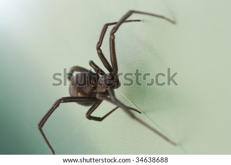 A close shot of a scary black widow spider - stock photo
