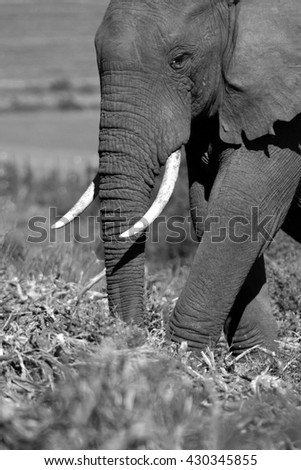 A close up abstract image of an elephants face. South Africa - stock photo