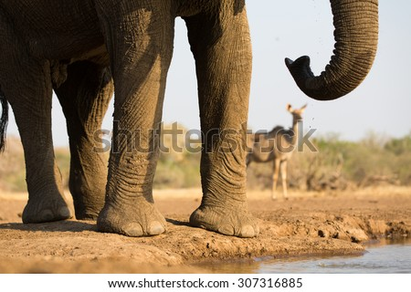 A close up, cropped, horizontal colour image of the body, legs trunk and tail, of an elephant with an out-of-focus kudu doe in the background on Mashatu Game Reserve, Northern Tuli, Botswana. - stock photo