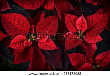 A close up detail of poinsettia plant leaves.  The plant is most commonly used for Christmas displays and themes.  - stock photo