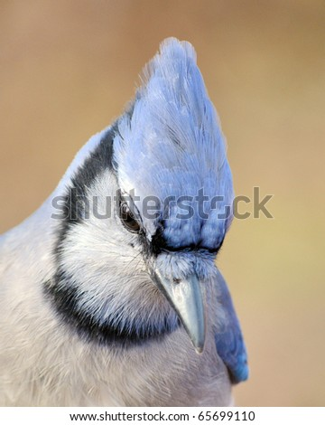 A close up head shot of a Blue Jay. - stock photo