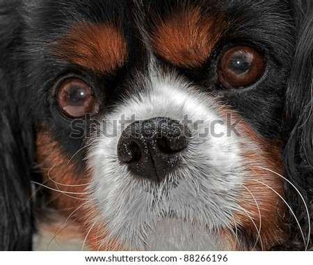A close up head shot of a King Charles Cavalier Dog - stock photo