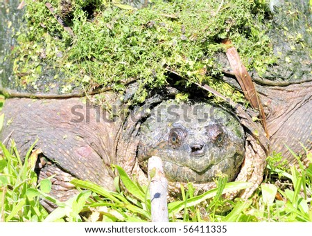 A close up head shot of a snapping turtle on the edge of a swamp.